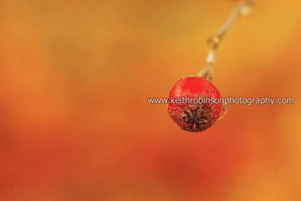Solitary Red Berry