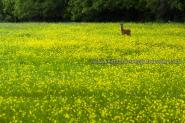 Monk Deer In Buttercup Field